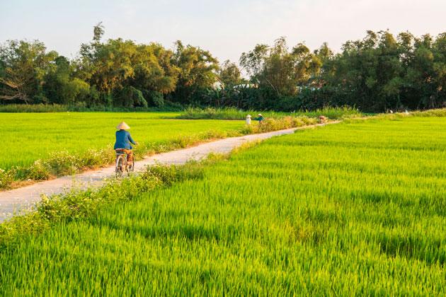 Le verdi risaie nelle campagne di Hoi An, Vietnam