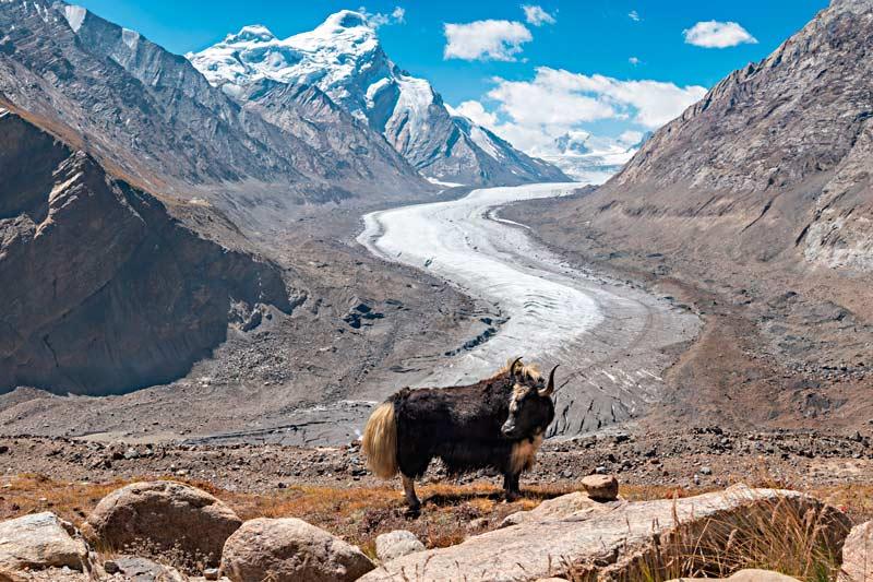 Un meraviglioso esemplare di yak davanti all'imponente ghiacciaio Drang Drung nella valle dello Zanskar