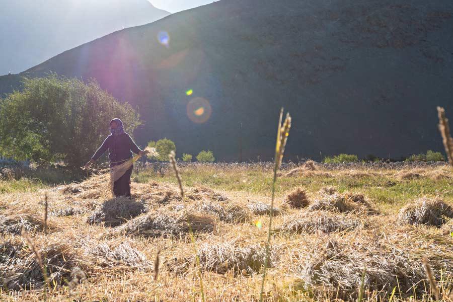 Contadina impegnata nella raccolta del grano nei pressi del lago Pangong, Ladakh