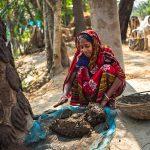 Una donna fuori casta in Bangladesh raccoglie lo sterco delle vacche per poterlo vendere come combustibile una volta essiccato